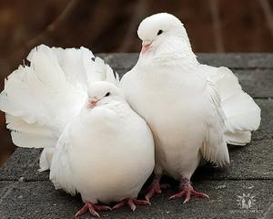 Голуби Днепропетровск, запуск голубей